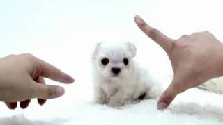Teacup Puppy For Sale,teacup Maltese,chihuahua,shihtzu,pomeranian,yorshire