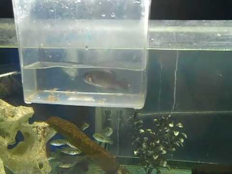 African cichlid fry stripping babies youtube for Fry baby fish