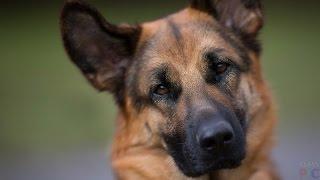 Немецкая овчарка или мой пес.(Это моя собака.его порода-немецкая овчарка,а зовут его Тор.Если вам понравилось видео то подпишитесь.и коне..., 2016-02-26T11:34:15.000Z)