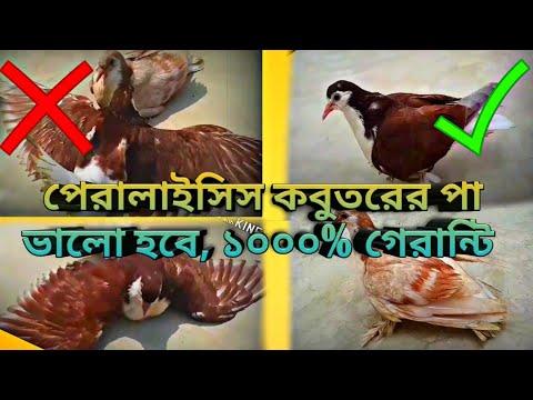 pigeons paralysis_pigeons weak legs_wings paralysis in ...