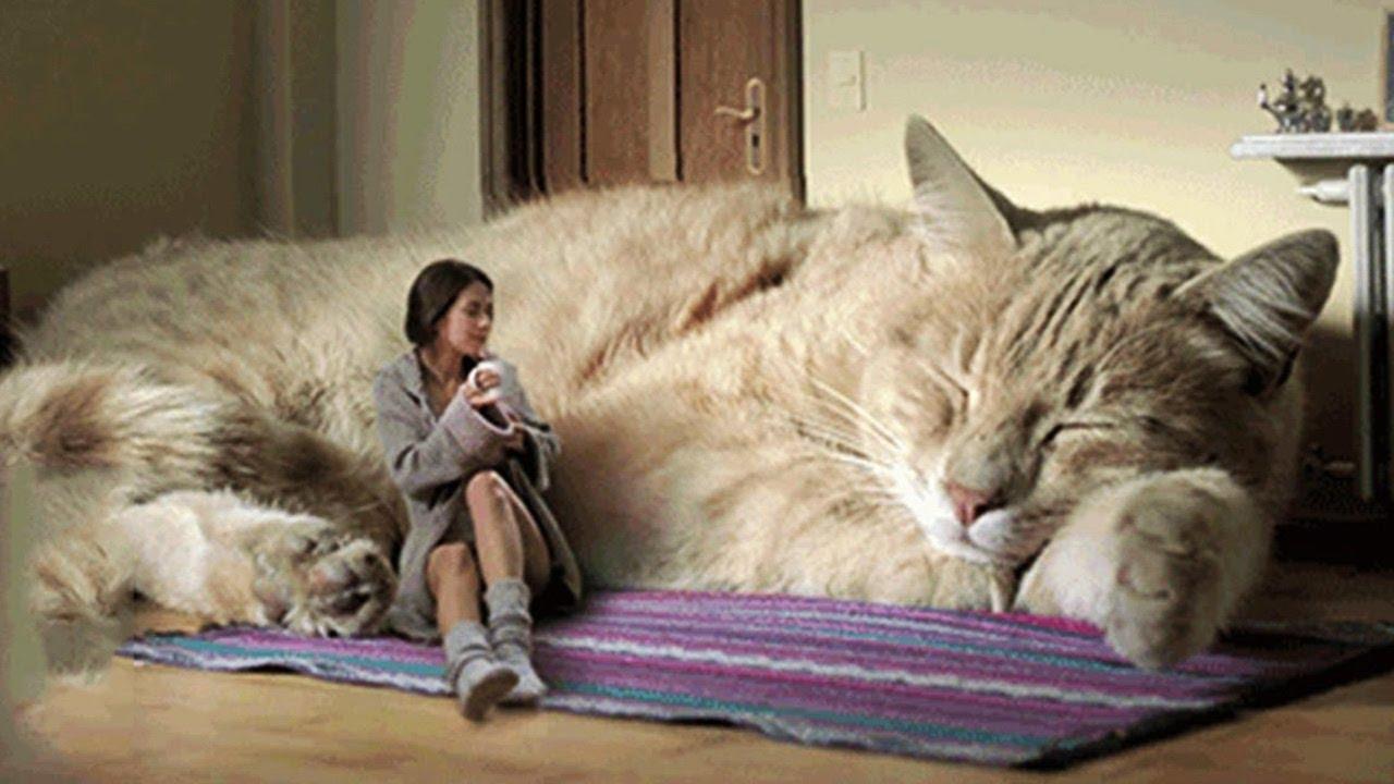 En büyük kedi nedir