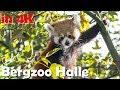 Zoo Halle mit rotem Panda in 4K