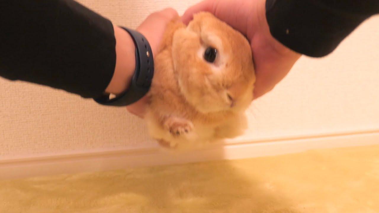 嫌いなお薬に警戒していたウサギが最終的に捕まってこうなりました【No.497】
