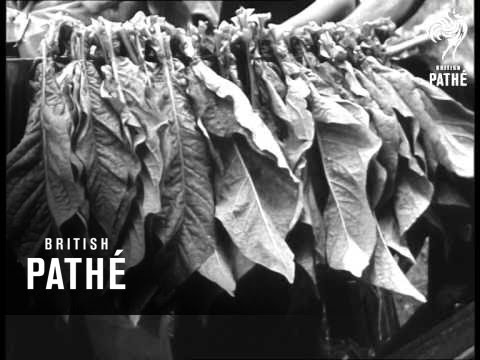 Canadian Tobacco Crop (1947)