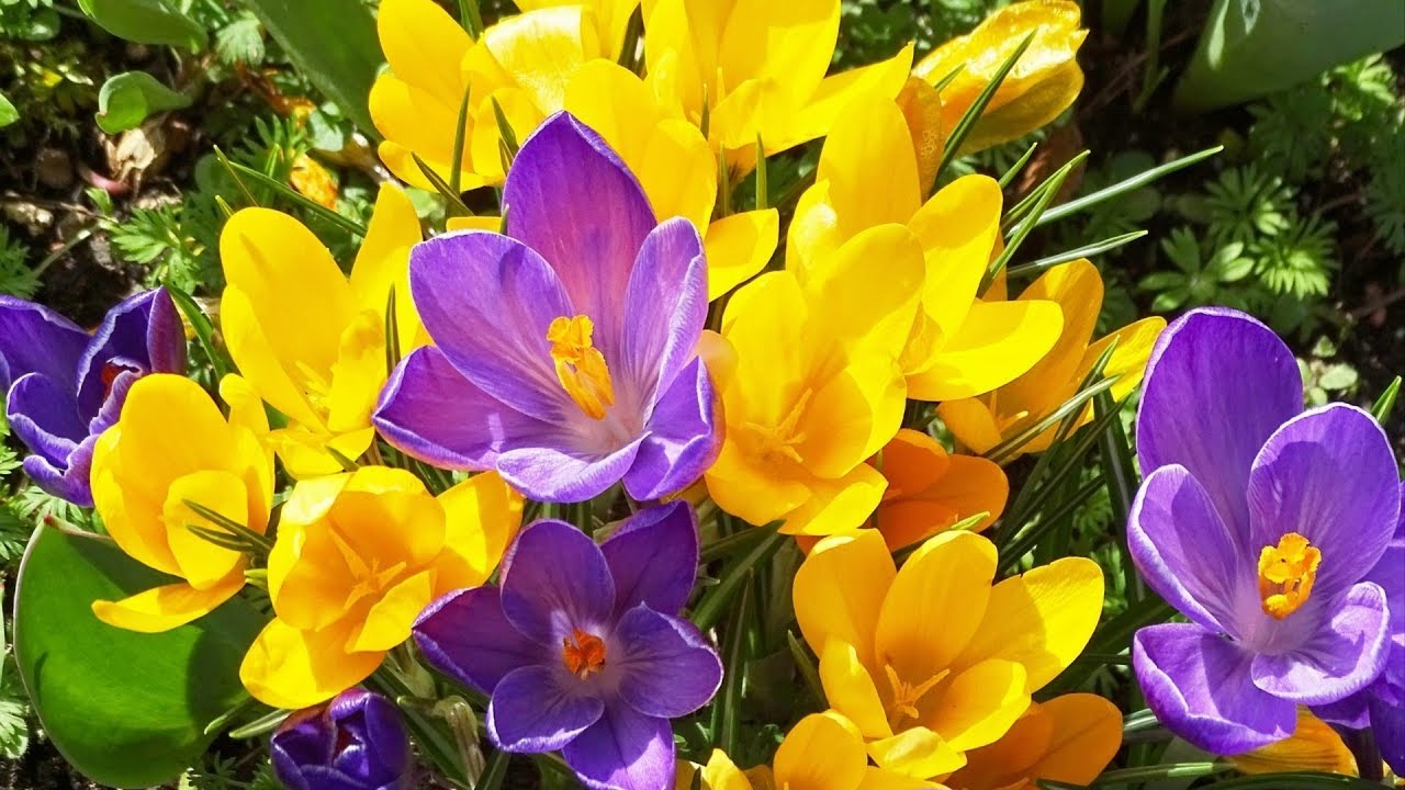 Beautiful Crocus Flowers Youtube
