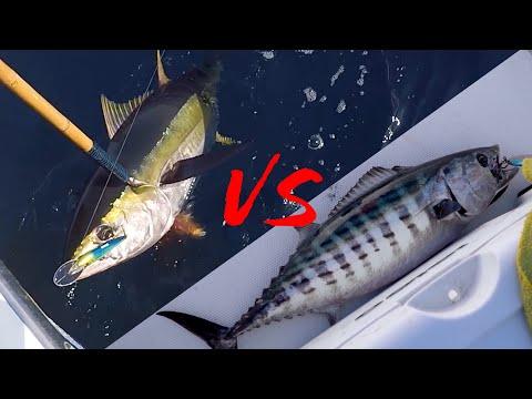 Yellowfin Tuna Vs Bonita {CATCH, CLEAN, COOK} SASHIMI STYLE