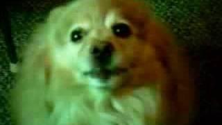 "Wolf  The Talking Pomeranian Saying: "" I Want One! """