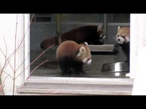 Humour: Un bébé panda roux surpris