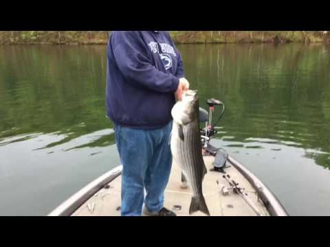 Catching giant lake Raystown stripers.