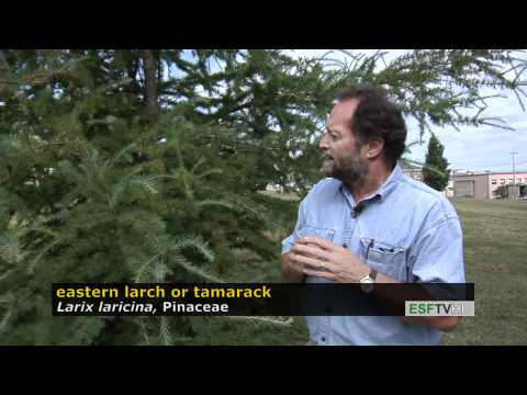 Trees With Don Leopold - Eastern Larch Or Tamarack
