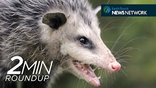 Opossum antivenom, a shark migration & Earth Hour 2015