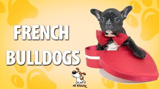 French Bulldog Puppies Westchester Nyc - 914-949-7877 - New York