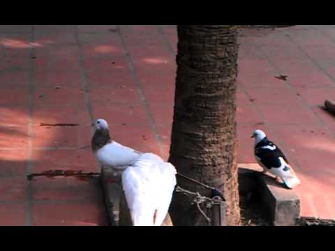 Chim bồ câu, sức mạnh tình yêu và sự chung thủy