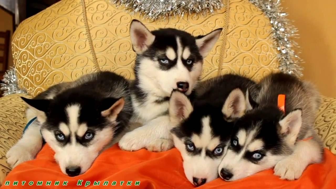 забавы Брянске хаски купить щенка в москве цена отправления прибытия