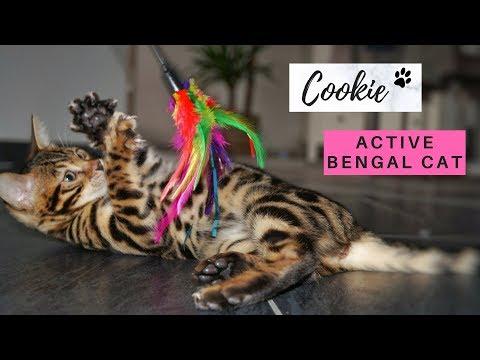 Active Bengal Cat Cookie