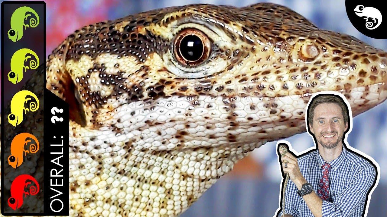 Timor Monitor, The Best Pet Lizard?