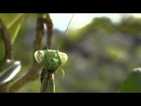 Sequoïa - Mantis