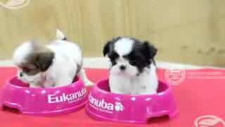 Teacup Puppy For Sale! Very Tiny Shih Tzu