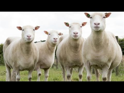 Clones of Dolly the Sheep Age Well