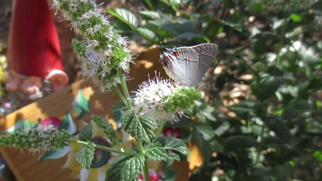 Nature, My Garden And Me: Gray Hairsteak Basking In The Butterfly Garden  6/17