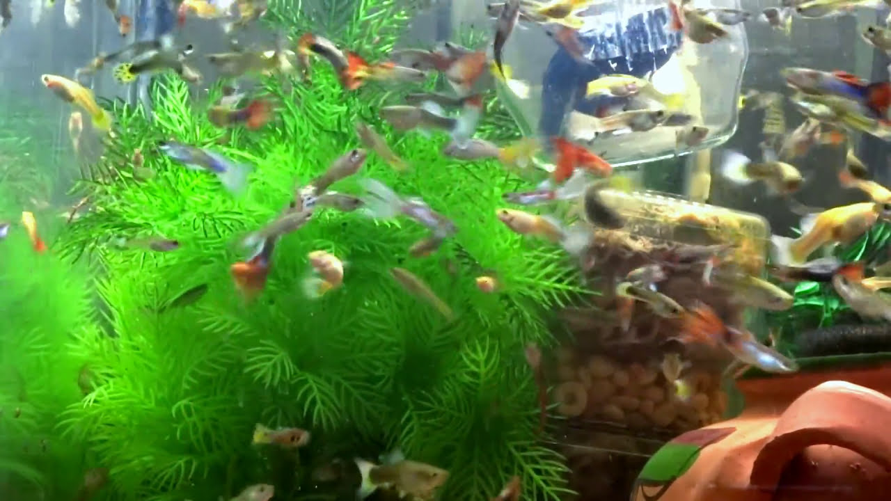 Guppy: content rules and breeding process (photos and videos)