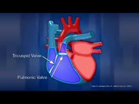 Heart anatomy youtube heart anatomy ccuart Image collections