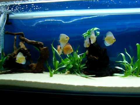 Peces discos en acuario de 300 litros youtube for Pescados para acuario