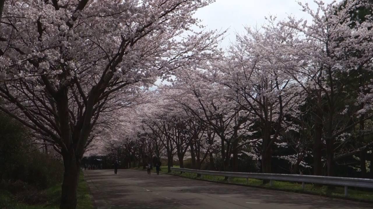 映画「海街diary 」(うみまちダイアリー)のロケ地 桜のトンネル - YouTube