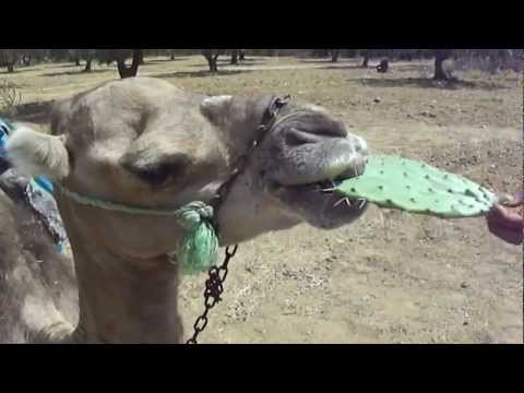 Camel eating cactus