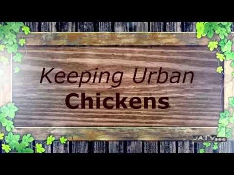 Urban Chickens part 1
