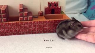 ハムスター ココちゃんもハムマリオに挑戦!WORLD1-1(HAMUMARIO)Hamster Super Mario Bros. thumbnail