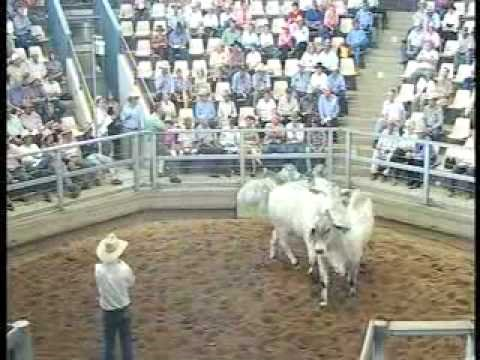 ROCKHAMPTON BRAHMAN WEEK 2008 LIVE WEBCAST LOT788