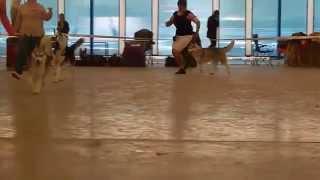 Республиканская выставка собак 11.05.2014, Гомель. Эксперт:Кисляков А.В.Сравнение,хаски