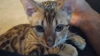 Bengal cat named Danger