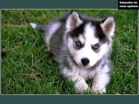 Solid Black Siberian Husky With Blue Eyes Solid Black Sib...