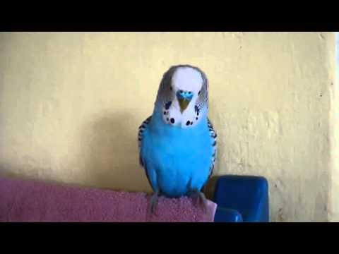 """Говорящий попугай. Попугай жжёт """"Кто чай не пьёт тот чмо""""."""