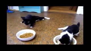Два пьяных кота  Прикол! Смешное видео про котиков