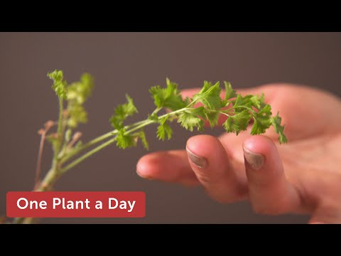 Pelargonium Alternans Houseplant Care — 39 Of 365