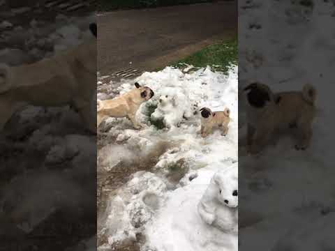 A stupid French Bulldog, who actually thinks Snow Dog is true