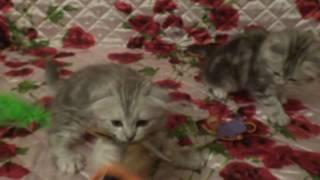 Шотландские котята, привиты, здоровы.