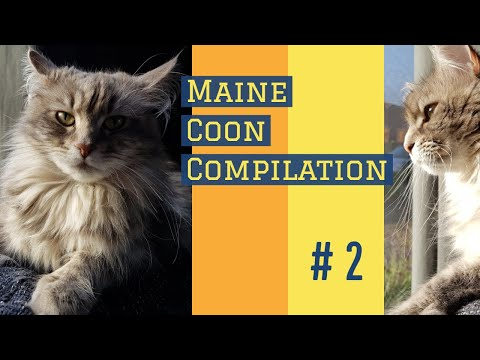 Life of a Maine Coon compilation #2