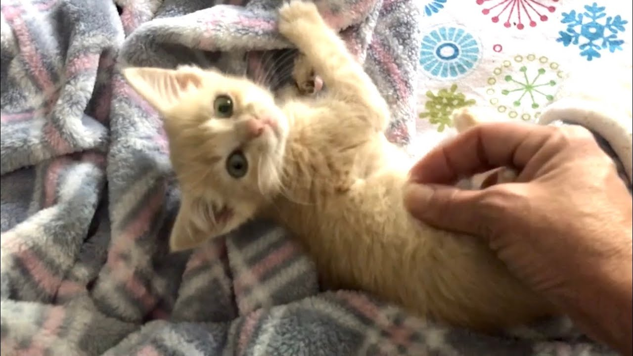 Wallace Bare Chested, Zeus'  Mangled Paw, Amber's URI & Thelma's Wobbly Walk - Kitten Healing
