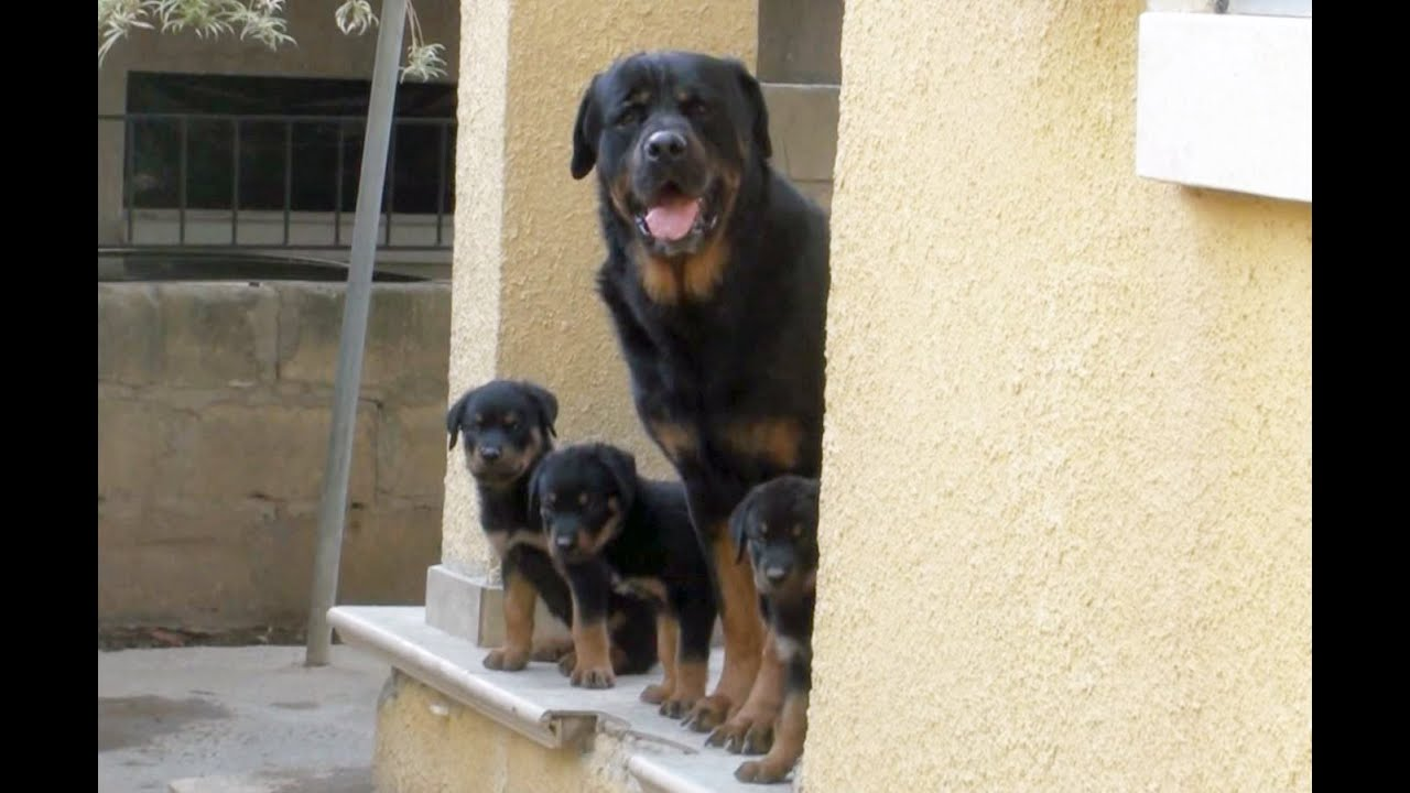 Rottweiler Puppies Feel Strong With Daddy Blackys