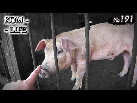 Вопрос: Правда что существуют свиньи с овечьей шкурой?