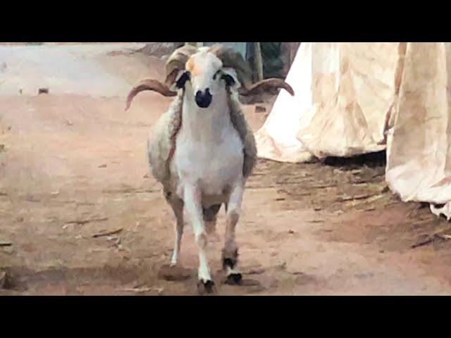 شاهد لحظة هروب اكبر حولي لمولاه في كازا عند الحاج عبد الغني المليح - عيد الاضحى 2019
