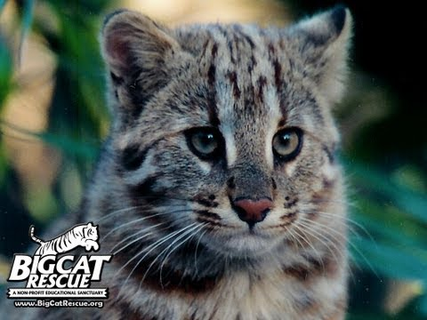 45 of the Exotic Cats at Big Cat Rescue
