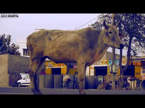 India's Cows Their Sacred Cry for Help