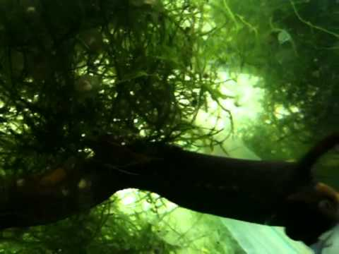 3c5731cb913 Tylototriton verrucosus   Himalayan Crocodile Newt egg laying - YouTube