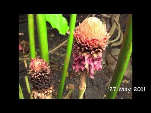 time-lapse-etlingera-elatior-(jack)-r.m.-smith-50-days
