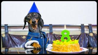 Dachshund DOG birthday! Funny animal video!